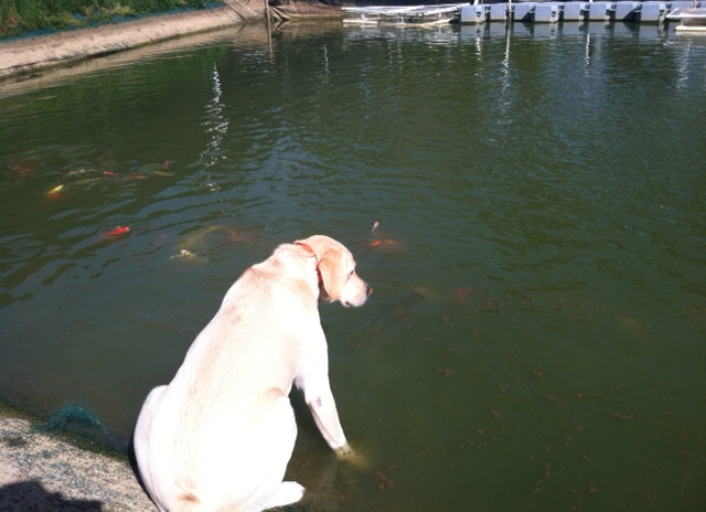 Stop By Today To Check Out Our Selection Of Koi Ranging In Size From 3 5 Inches 14 Plus All Fish Are Always 2 Get 1 Free
